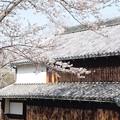 里山の桜04