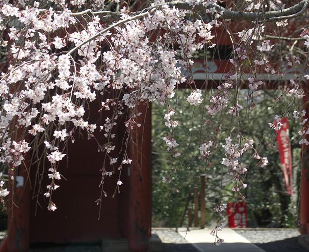 山寺桜02