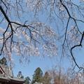 写真: 山寺桜05