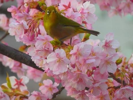 桜にメジロ~広島