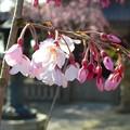 枝垂れ桜~鎌倉本覚寺