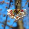 桜~鶴舞公園