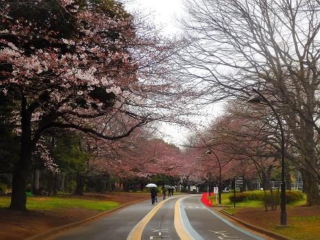 桜開花~駒沢公園