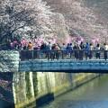 写真: 桜~目黒川