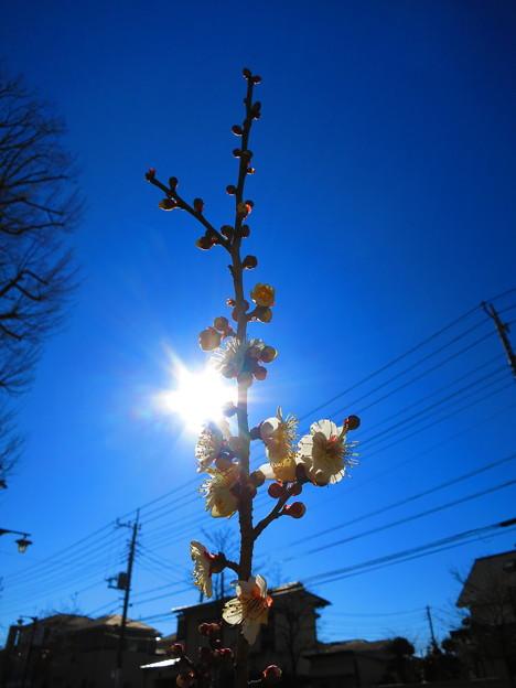 Photos: 一本の白梅木