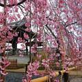 写真: 美しきしだれ桜