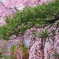 松との共演・・しだれ桜