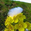 写真: 綿帽子、風に吹かれて