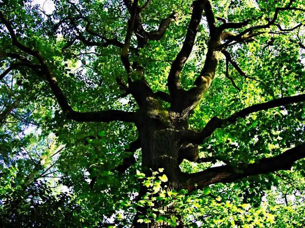 西ヶ原 滝野川公園 入口の大木