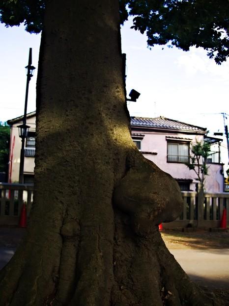上中里 平塚神社 木のコブ