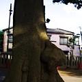 Photos: 上中里 平塚神社 木のコブ