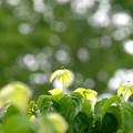 写真: ヤマボウシ