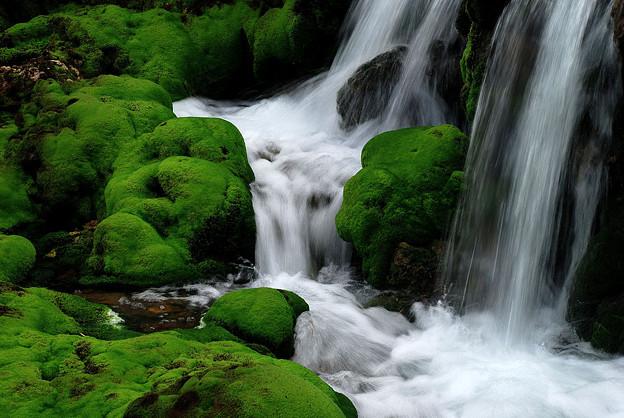 チャツボミゴケの渓流