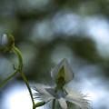 写真: サギ草