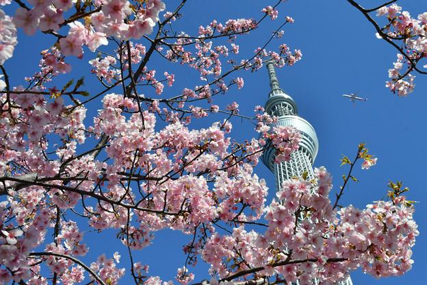 河津桜咲く2