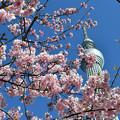 写真: 河津桜咲く2