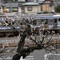 白梅と横須賀線