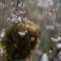写真: 桜舞い