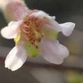 写真: 丁子桜