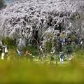 写真: 観桜