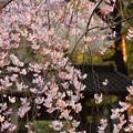 枝垂れ桜三分咲き