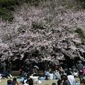 Photos: 昨日の御苑お花見
