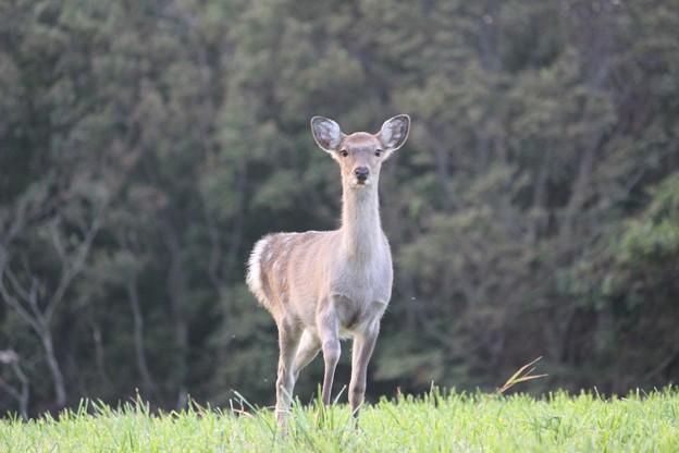 野生のエゾシカに出会う (4)