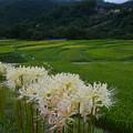 写真: 白い曼珠沙華