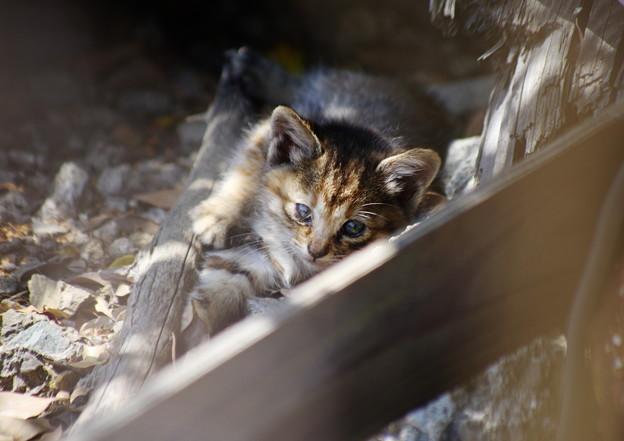 キジトラ仔猫も