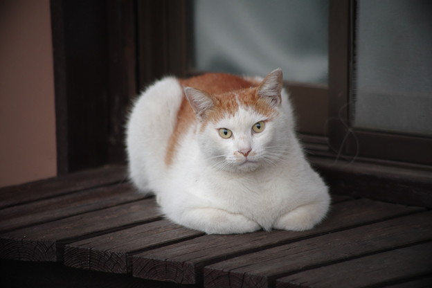 写真: 縁側の猫さん