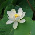 Photos: 白い蓮の花一輪