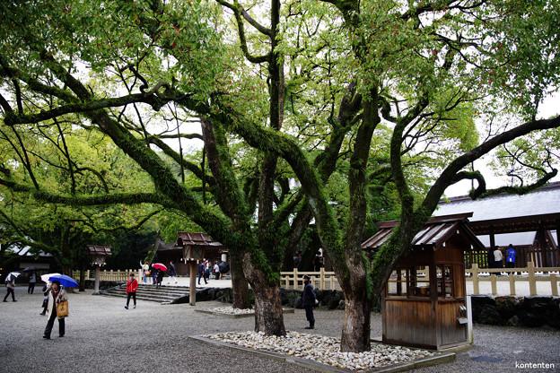 拝殿脇の大木