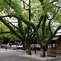 写真: 拝殿脇の大木