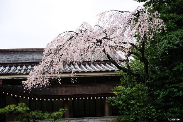 勅使館の桜