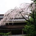 写真: 勅使館の桜