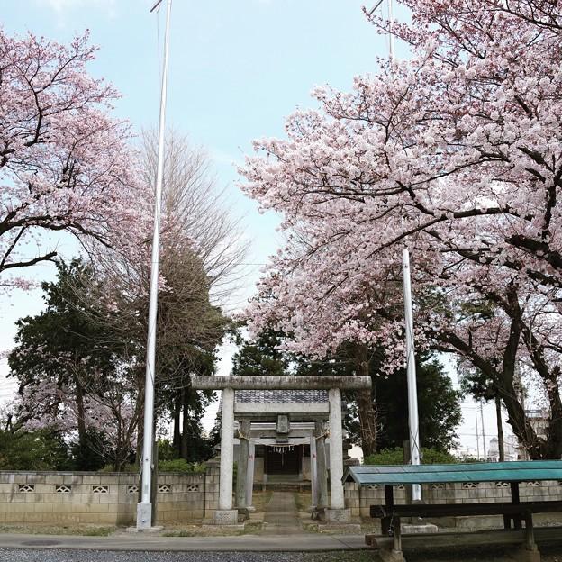 鹿飼神明宮の桜