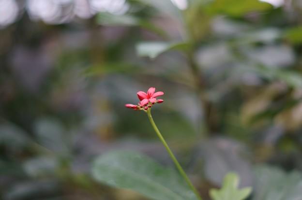 提琴桜(テイキンザクラ)