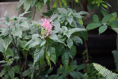 珊瑚花(サンゴバナ)
