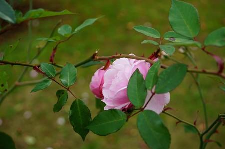 庚申薔薇(コウシンバラ)