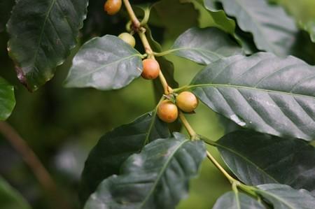 コーヒーの木(コーヒーノキ)
