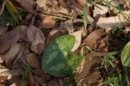 多摩の寒葵(タマノカンアオイ)