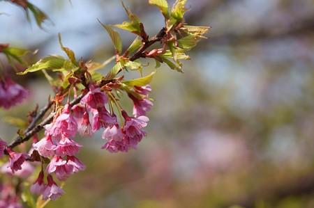 琉球寒緋桜(リュウキュウカンヒザクラ)