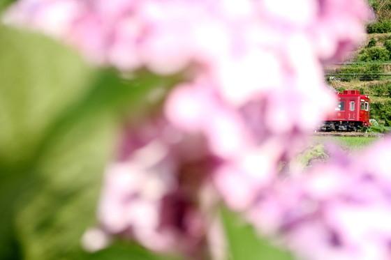 紫陽花とうめ星