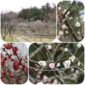 Photos: 梅林へ