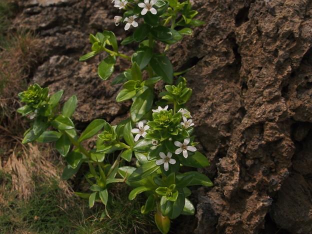 ハマボッス Lysimachia mauritiana