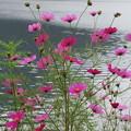 Photos: 榛名湖のコスモス