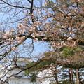 Photos: 2250 小田原城の桜二分咲き@神奈川