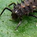 写真: テントウムシの幼虫 アップ