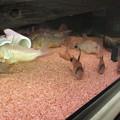 Photos: 20140701 60cmコリドラス水槽のコリドラス達