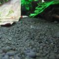 Photos: 20140701 60cmエビ水槽の稚エビ